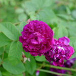 significado de las Rosas Cardinal de Richelieu