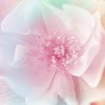 significado de rosas salvajes