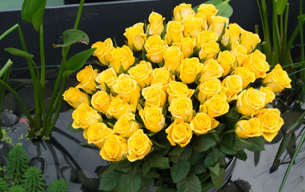 significado de las rosas amarillas
