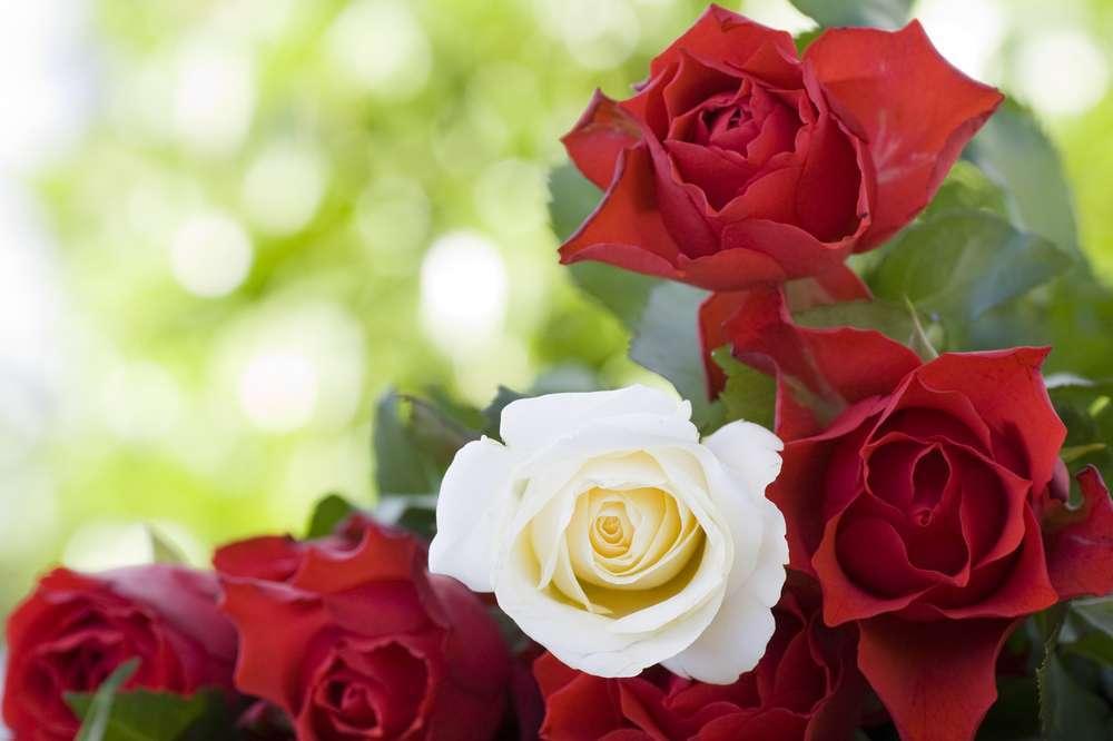 rosa blanca y roja significado