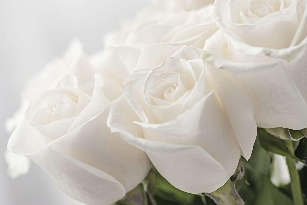 rosas blancas significado