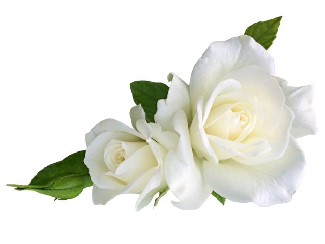 rosa blanca significado