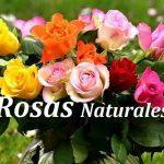 comprar rosas naturales envio 24 horas