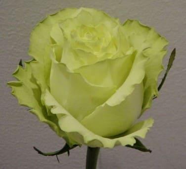Variedad Rosa Verde Lemonade