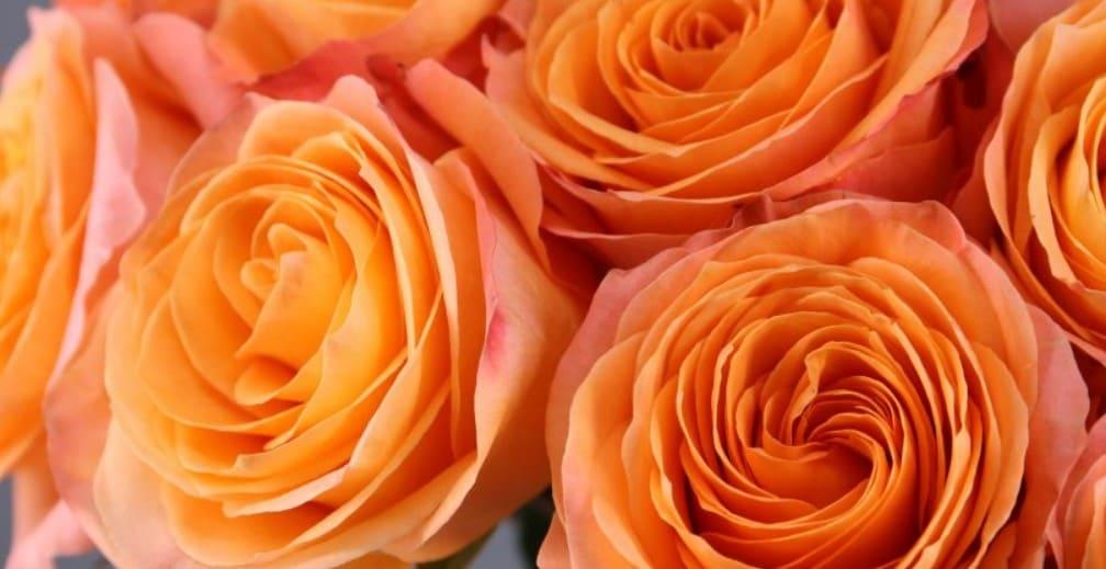 rosas naranjas para regalar